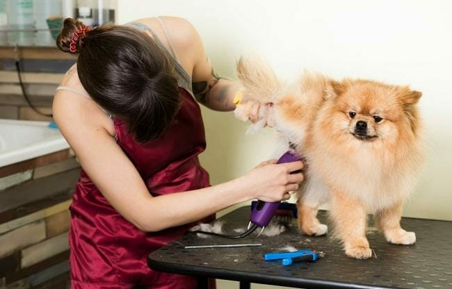 groomer-woman-haircut-cute-pomeranian-hair