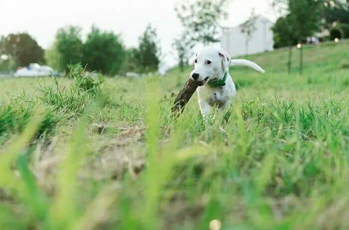 Peston Dog Training Collars