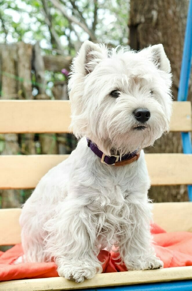 Best Dog Grooming Clippers For Westies