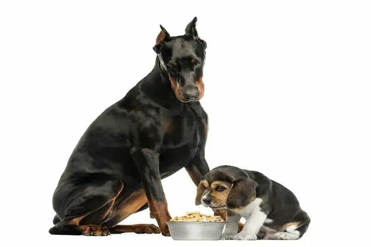 Best Food For Doberman Puppies