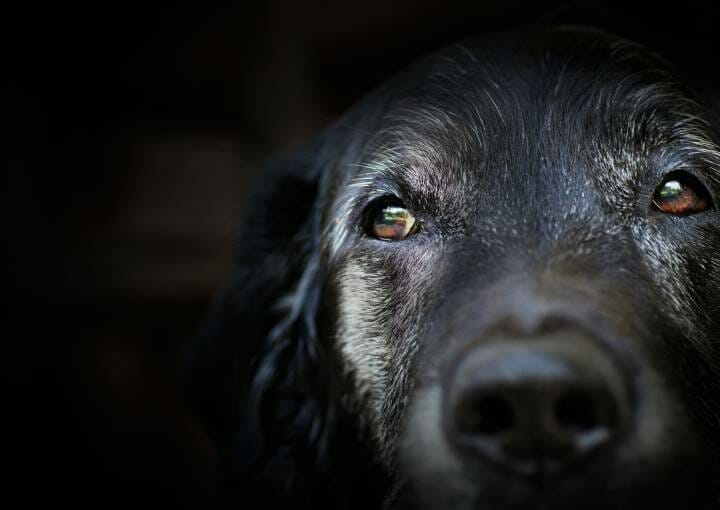 Older dogs are at a greater risk of diabetes