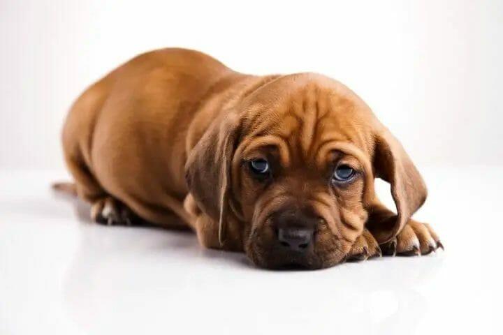Symptoms of Intestinal Blockage in Dogs