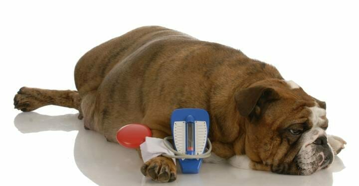 Dog with Diabetes