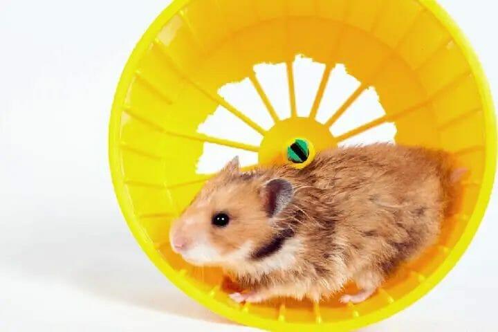 Best Exercise Wheel For Syrian Hamster
