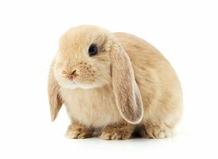 Best Litter Box for Rabbits
