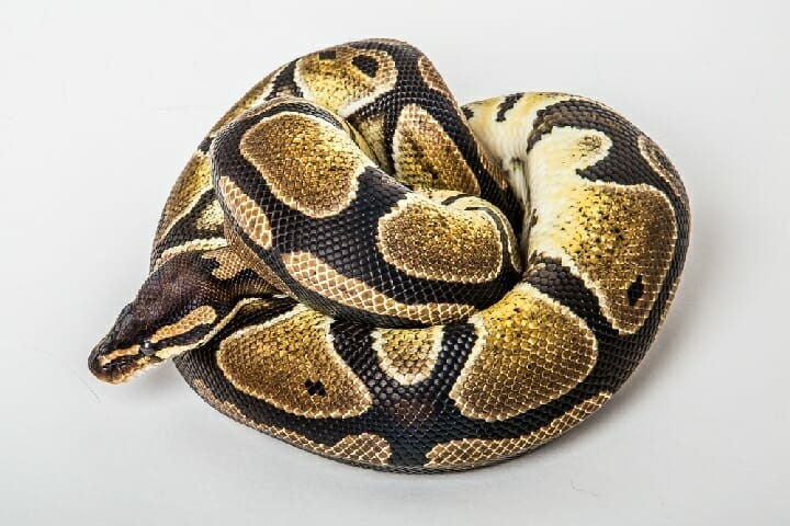 Best Substrate And Bedding For Ball Python