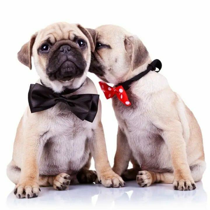 Adorable Dog Couple