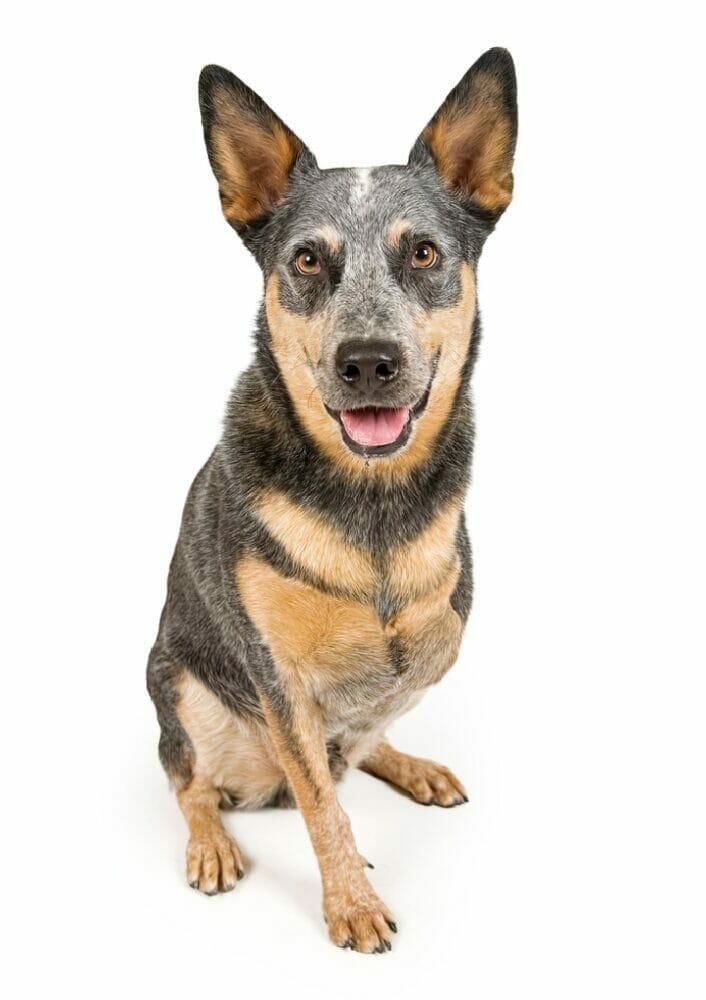 Best Harness For Three Legged Dog