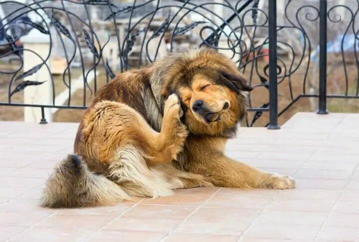 Dog scratching himself