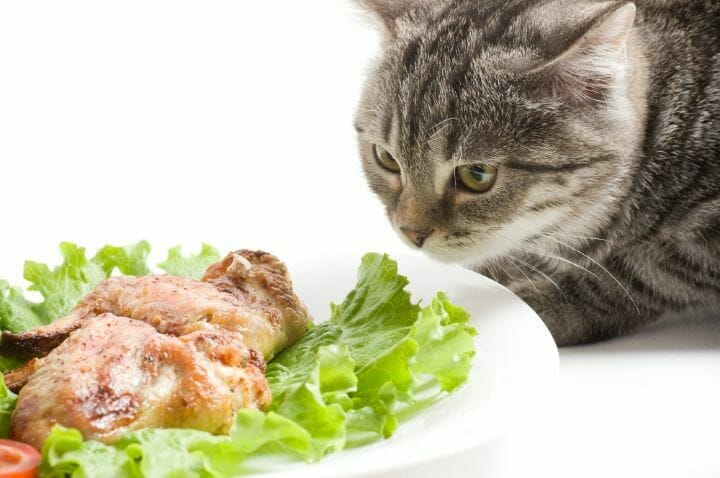Cat eating Chicken Wings