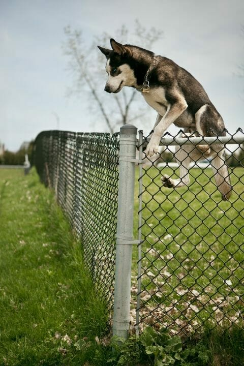 A large dog climbing the fence
