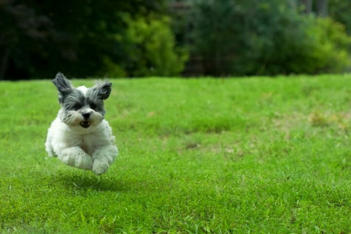 Running Dog in the backyard