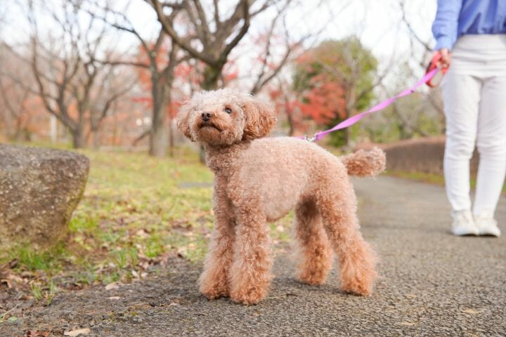Poodle walking in the park with it's owner