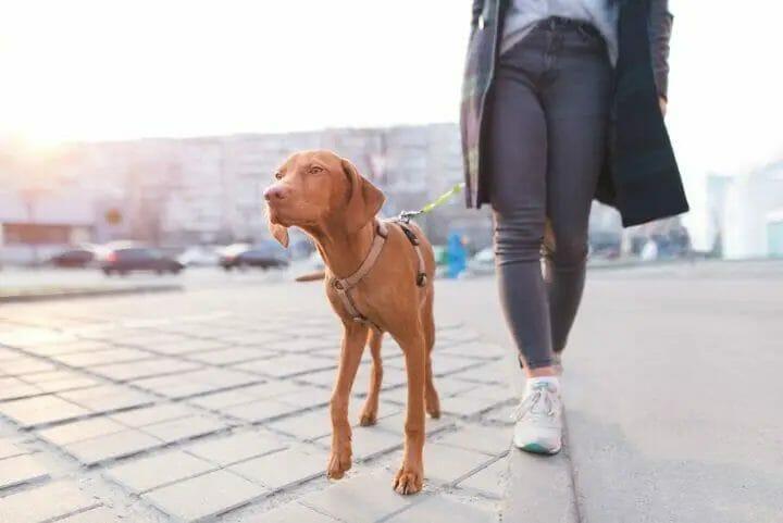 Vizsla walking with it's owner