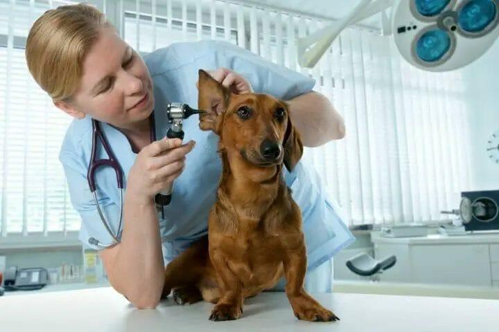 Best Ear Cleaner For Springer Spaniels