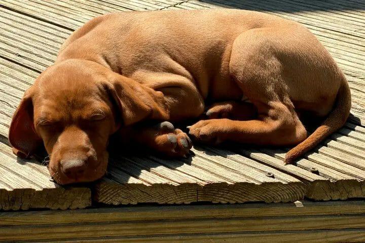 How Much Do Vizsla Puppies Sleep?