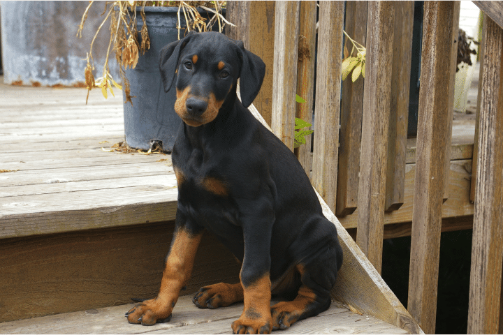 How To Make My Doberman Puppy Gain Weight