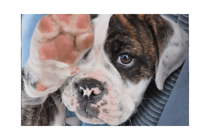 At What Age Do Puppies' Paws Turn Black