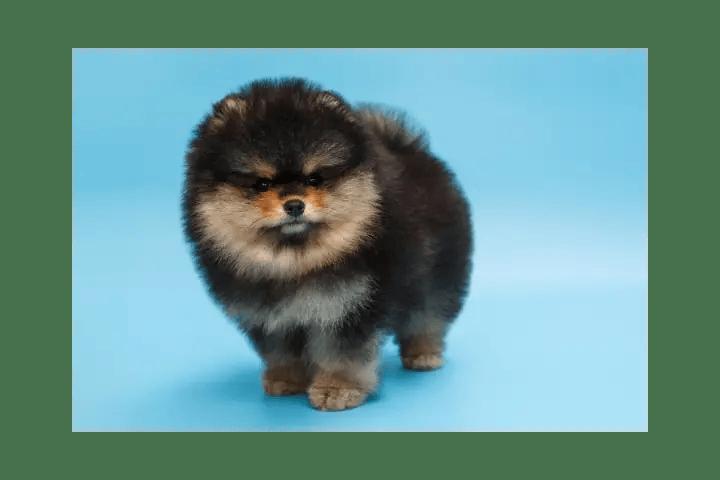 Can A Black Puppy Change Colour