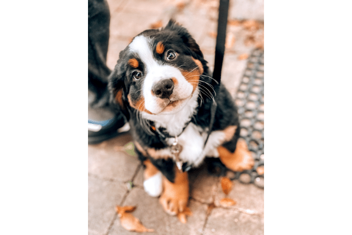 How To Potty Train A Bernese Mountain Dog Puppy