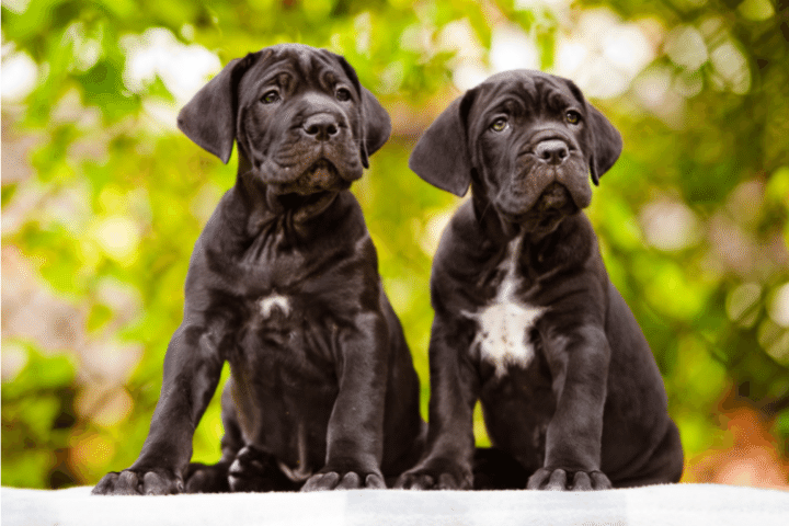 How To Potty Train A Cane Corso Puppy