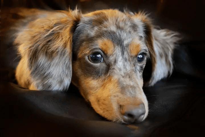 How To Potty Train A Chiweenie Puppy