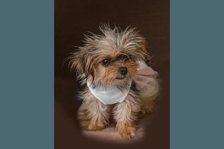 How To Potty Train A Chorkie Puppy