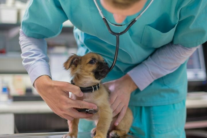 How To Hear Puppy Heartbeats With Stethoscope