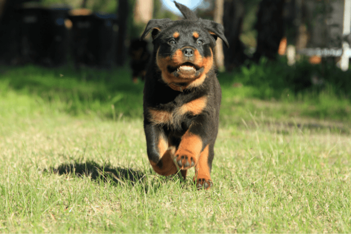 Rottweiler Puppy Growls When Picked Up