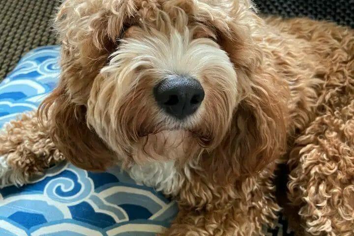 When Do Puppies Calm Down Labradoodle